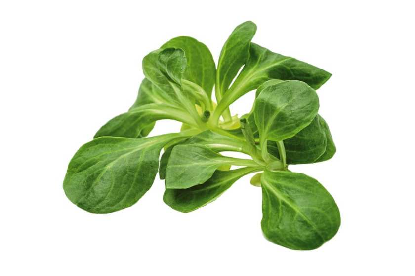 A small bit of salad leaves on a white background.