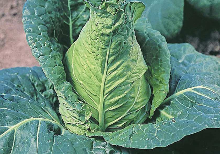 Close up image of a fully grown cabbage