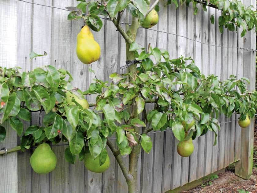 A pear tree leaning against a fence.