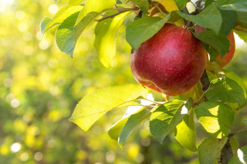 An apple hanging from a tree.