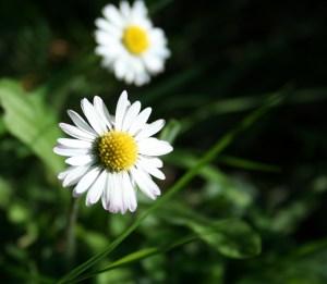 Oxeye Daisy Wildcraft Plant