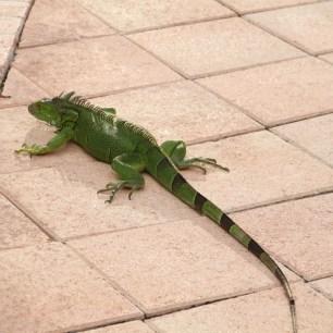 Lizard Basking