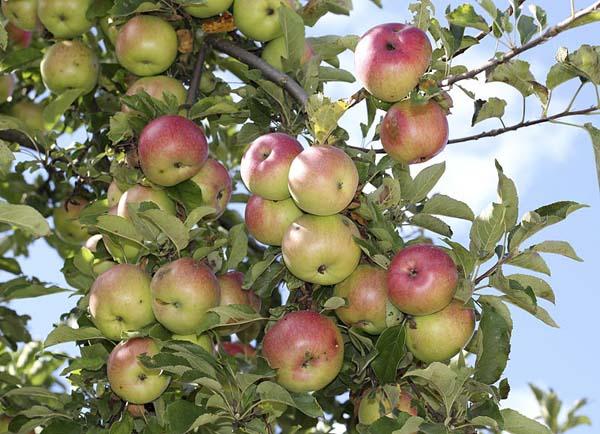 apple on tree