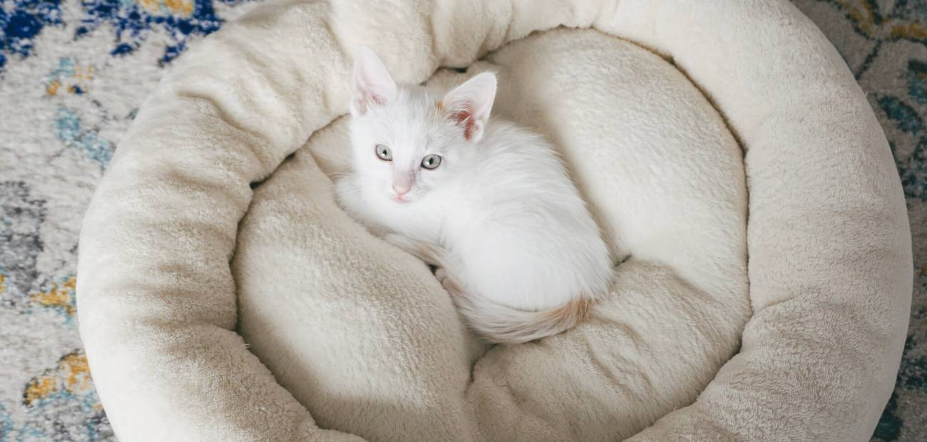 white kitten laying in bed