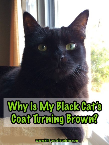 Why is My Black Cat's Coat Turning Brown?