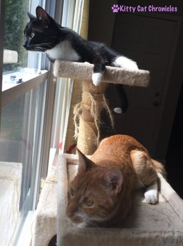 Radagast and Sampson on the Cat Tree