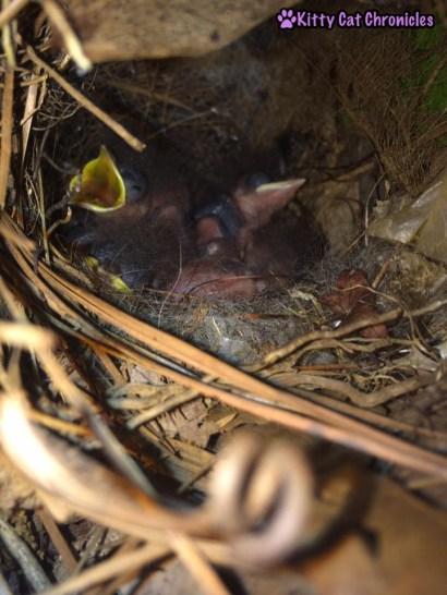 The Carolina Wrens have Finally Fledged - baby birds, carolina wrens