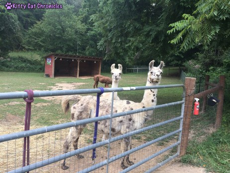Our Stay at Horse Creek Stable Bed & Breakfast of Blue Ridge, GA - Llamas