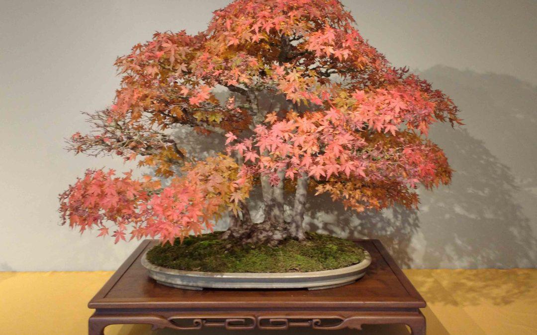 acero rosso bonsai in versione autunnale