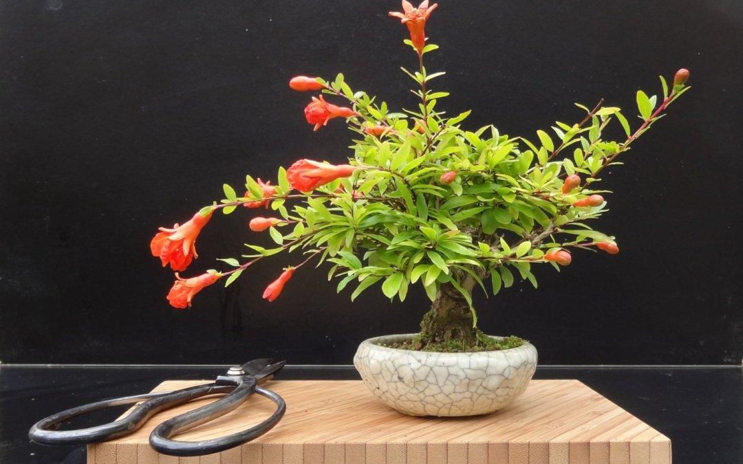 melograno shohin bonsai