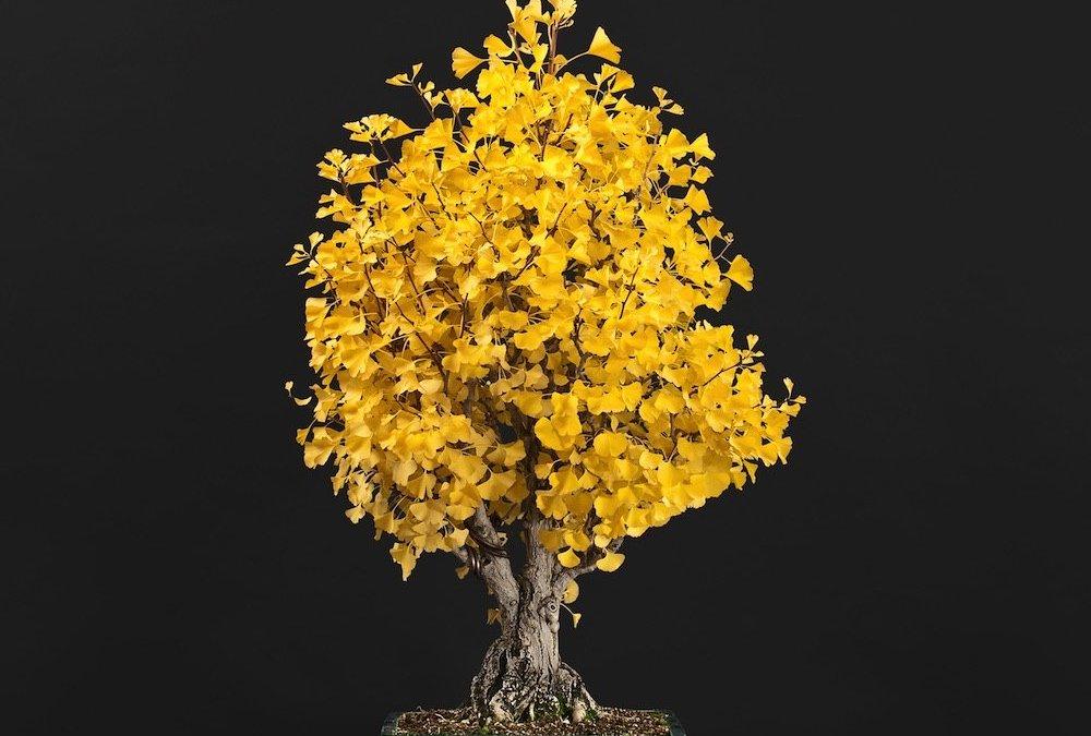 Ottobre: Lavori e cure nei bonsai