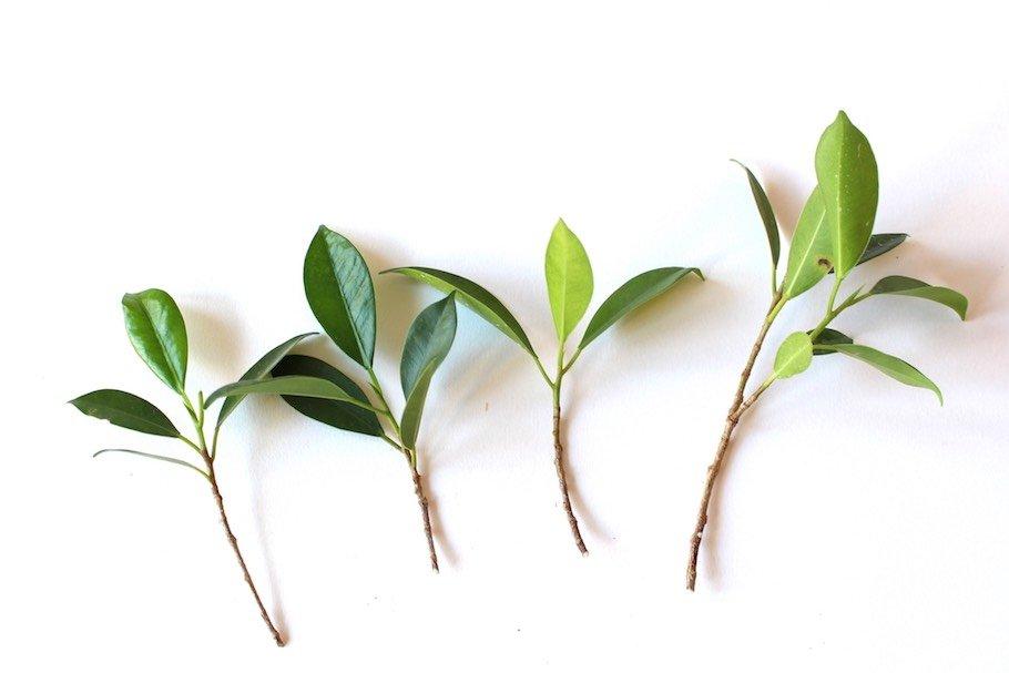 Talea di ficus per la creazione di un futuro bonsai