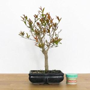 bonsai di melograno con fiori rossi e frutti