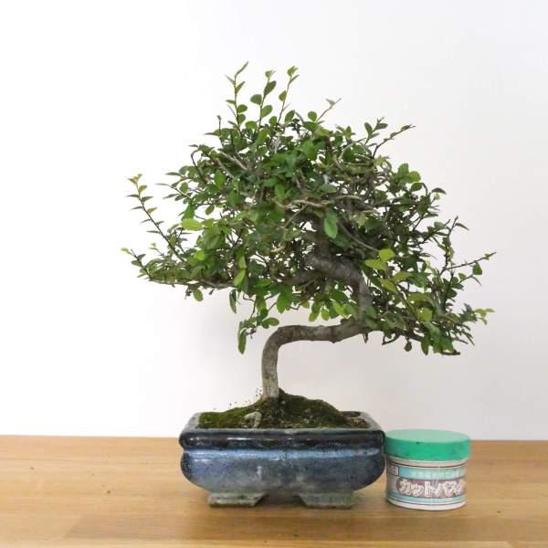 bonsai olmo zelkova