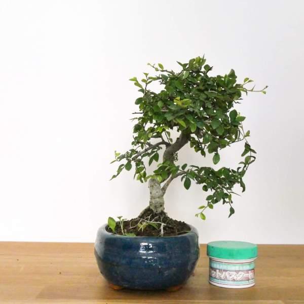 bonsai olmo cinese