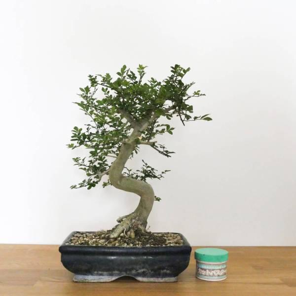 bonsai frassino