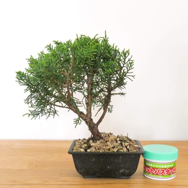 bonsai ginepro kishu