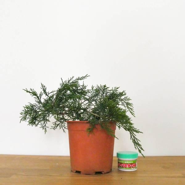 pre bonsai ginepro