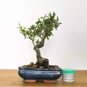 bonsai di melograno
