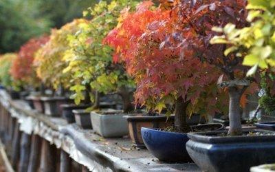 Preparare il Bonsai all'inverno. Le Cure e le Manutenzioni Essenziali.