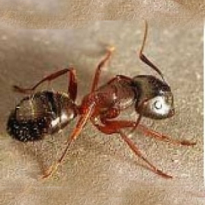 Ants Can Be A Major Nuisance In Households And Businesses Getting Into Foodstuffs Running Around Bench Tops Other Areas In Some Instances They