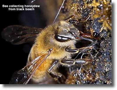 Bee-Collecting-Honeydew-honey