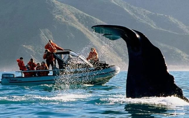 Whale watching-Kaikoura