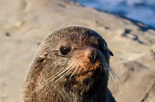 Tora Coastal Walkway Wairarapa-Day 2-fur seal