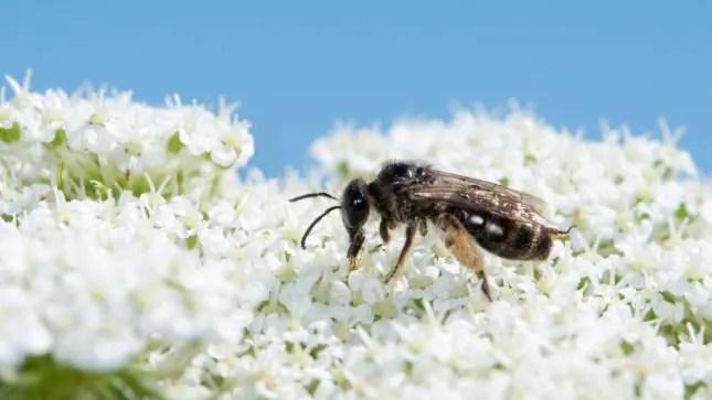 New Zealand native bee-Leioproctus
