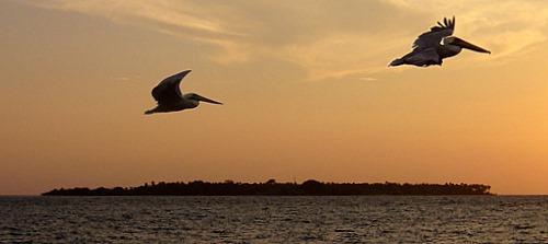 Pelikane vor Isla Mucura