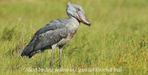 Shoebill trails in Uganda