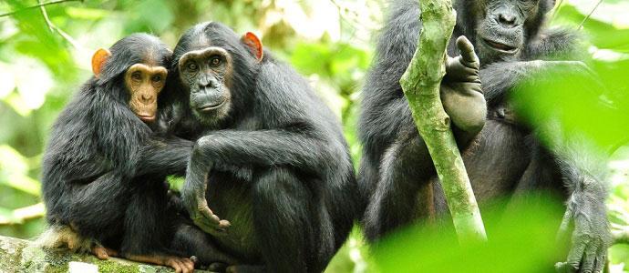 uganda national parks kibale forest national park