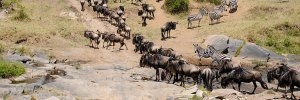 10 Days Masaai Mara Migration Safaris