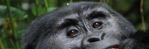 gorilla trekking safaris in Uganda and Rwanda