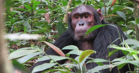 3 Days Chimpanzee tracking