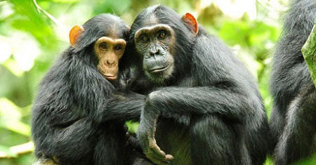 Chimpanzee tracking safaris in Kibale forest
