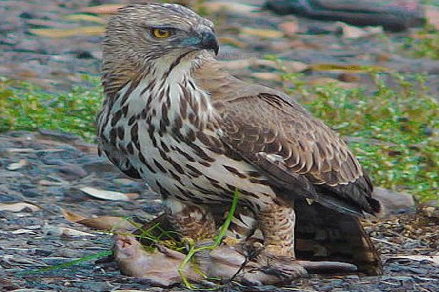 Perlindungan Pulau Rupat, Upaya Konservasi Raptor