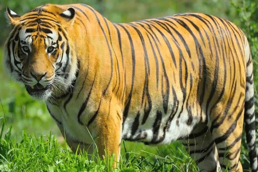 Harimau Serang Kementrian Kehutanan