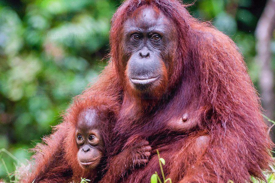 Empat Orangutan Dilepasliarkan Di Bukit Batikap