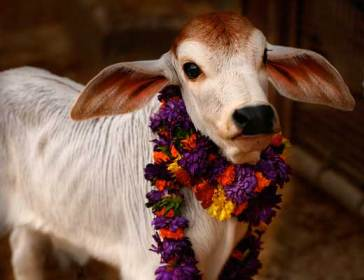 cows in vrndavan