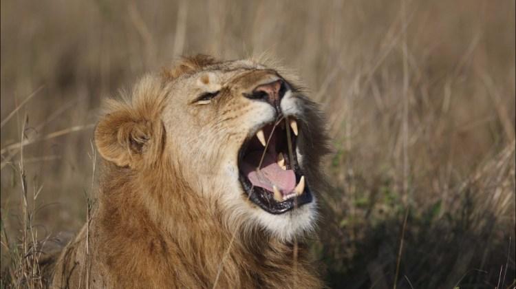 lions-roaring
