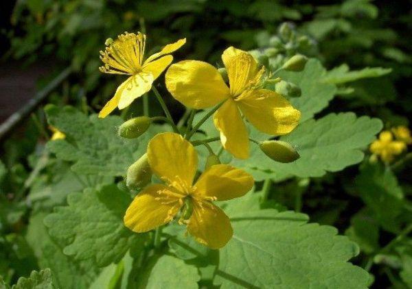Лекарственные растения и лечебные травы с фото и названиями