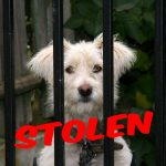 Missing My Dog – These Are The 12 Most Frequently Stolen Pet Dog Breeds