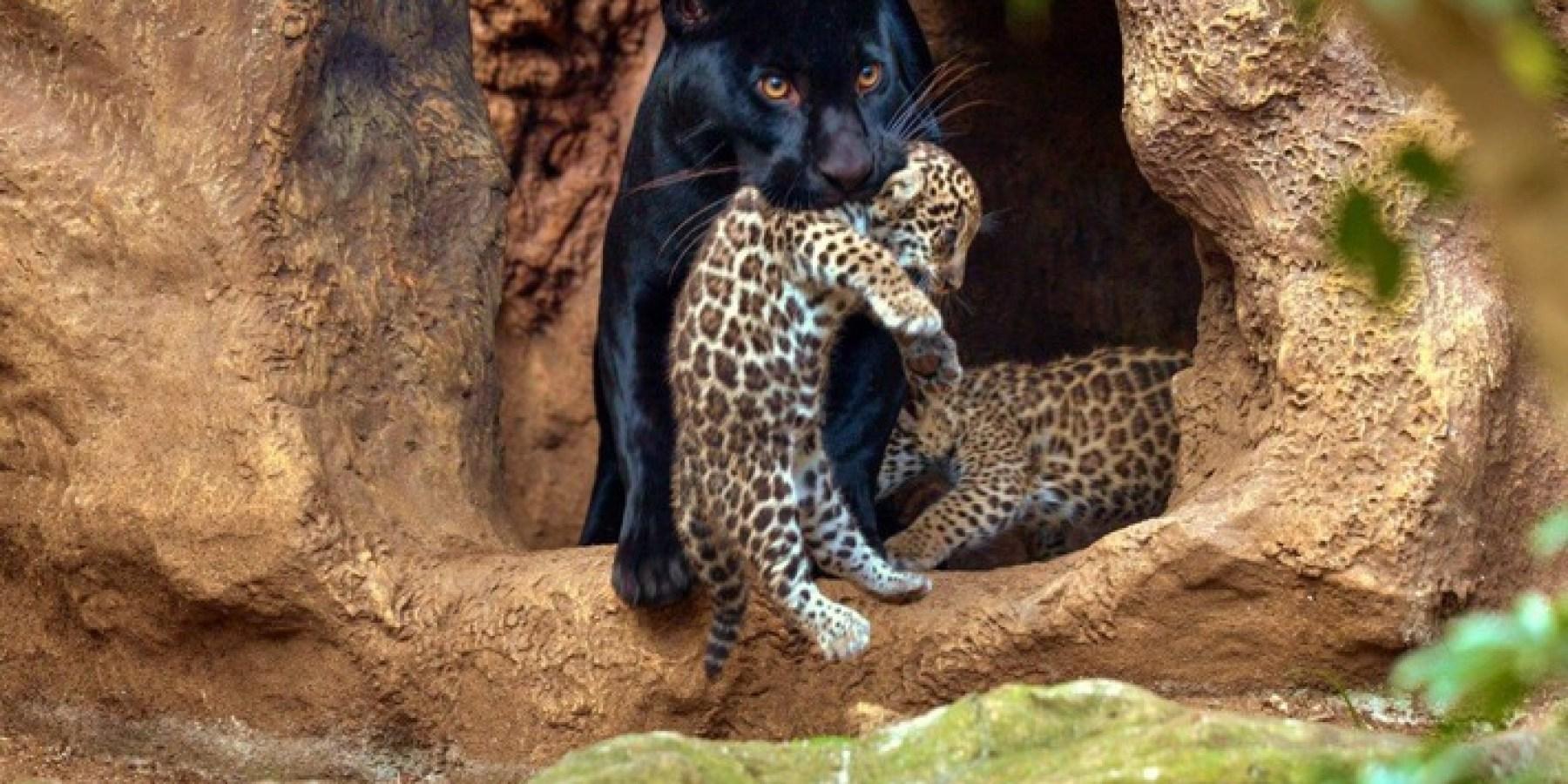 Loro Parque feiert die Geburt von Jaguar-Zwillingen