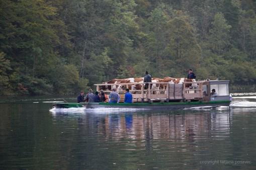 Kühe auf einem Floß auf dem Königssee