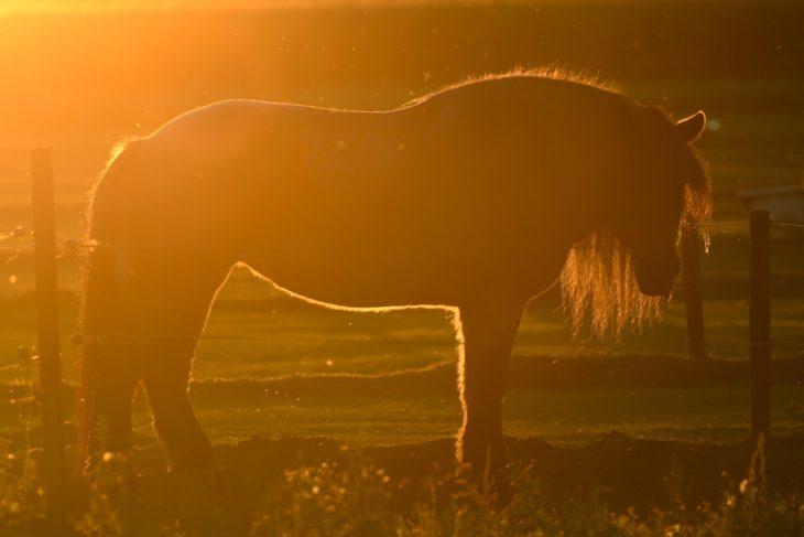 Schwüle Wärme, tanzende Fliegen über einem pferderücken im Licht der untergehenden Sonne… (Foto: Klaus Oberschilp)