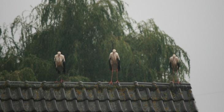 Horch, du Storch! (Foto © LV)