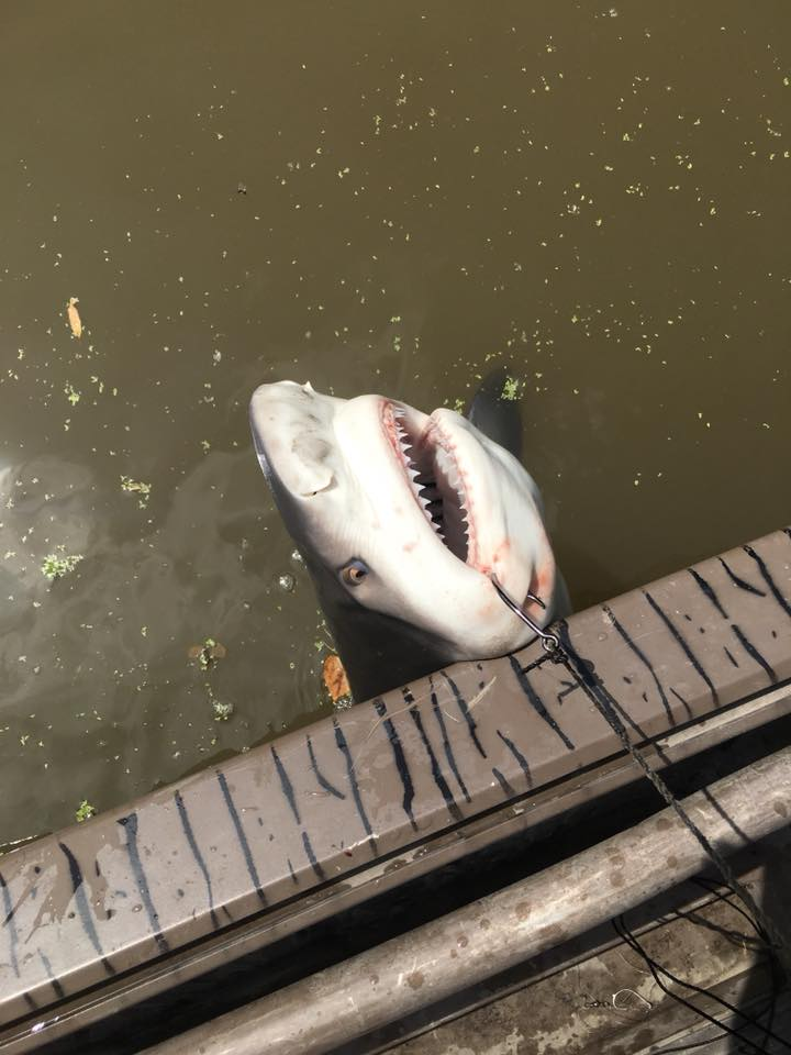 Local couple catches 4ft bull shark in the Atchafalaya Basin