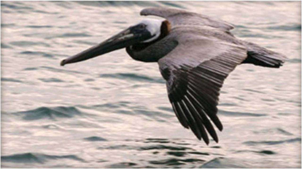 brown pelican_1550684843082.jpg.jpg
