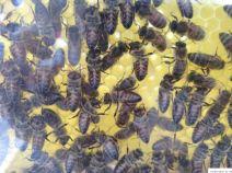 Bienen in einem wohltemperierten Schaukasten / Imkerverein Hamm beim Event UNITED, 01.06.2019 (C) Ulrich Mandel